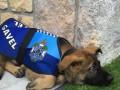 Собаку уволили из полицейской академии за дружелюбие