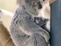 Маленькая коала из зоопарка Сан-Диего покорила пользователей сети