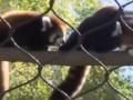 В зоопарке США показали 3-месячную красную панду