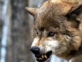 Волк искусал трех человек под Запорожьем
