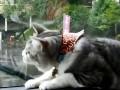 Охота на дворники: забавная кошка покоряет интернет (ВИДЕО)