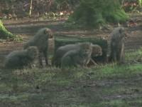 В Нидерландах шестеро малышей гепарда вышли на первую прогулку