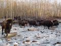В Канаде бизонов созывают на обед на украинском языке