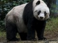 Систему распознавания панд создали в Китае