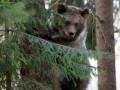 Медведь пробрался в закрытый военный город, прорыв подкоп под ограждением