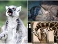 Животные недели: могучий лемур, спящие гориллы и жирафы-нежинки