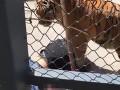 В Китае тигр убил своего воспитателя на глазах у зрителей