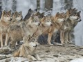 В селах Житомирской области орудуют стаи волков