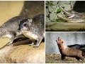 Животные недели: Кустарниковые собаки, гангский гавиал и даманы Брюса