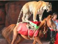 В китайском цирке львица и тигр набросились на коня