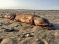 Ураган выбросил на побережье Техаса загадочное животное
