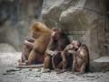 Бабуины сбежали из исследовательского центра