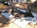 В желудке тайского оленя сделали неожиданные находки