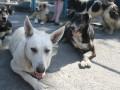 Корреспондент: Территория двортерьера. Собаки-беспризорники стали одной из главных проблем горожан в Украине