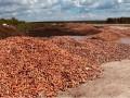 На Киевщине обанкротившийся фермер выбросил тонны моркови (Видео)
