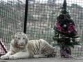 Тигрюля забеременела