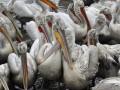 В Донецкой области за одну ночь была уничтожена единственная в Украине колония косматых пеликанов