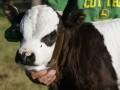 Фермер вырастил теленка, похожего на панду (ФОТО, ВИДЕО)