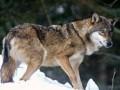 В Тернопольской области бешеный волк укусил за лицо местную жительницу