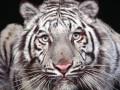 Сбежавший из тбилисского зоопарка белый тигр убил человека
