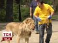В центре Киева прогуливался лев с дрессировщиком