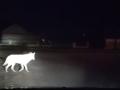 Уличный волк разгуливает о райцентру под Одессой