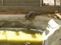 Палестинцы поймали в канализации крокодила