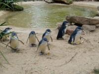 На Тасмании собаки растерзали 58 пингвинов
