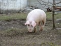 В Луганской области обнаружили африканскую чуму свиней