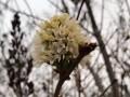 В Херсоне в мороз цветет сирень
