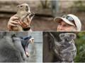 Животные недели: зубы павиана, детеныш капибары и семейство коал