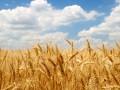 Украина исчерпала годовую квоту на экспорт пшеницы в Евросоюз