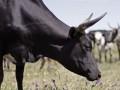 В Казахстане корова отбила нападение волка на хозяина