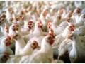 Птицефабрики в шоке: им запретят продавать воду
