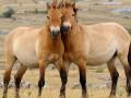 В зоне ЧАЭС расплодились лошади Пржевальского