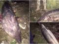 На Дунае поймали браконьеров с 2,5-метровой белугой