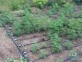 В Запорожской области полиция обнаружила плантацию конопли