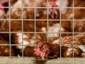 В Дании из-за вспышки птичьего гриппа хотят уничтожить 25 тысяч цыплят