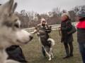 В Ирпене четвероногие друзья  соревновались за звание лучшей северной собаки