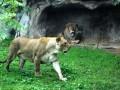 В Германии на сотрудника сафари-парка напали львы