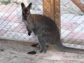 На Киевщине разыскивают сбежавшего из частного зверинца кенгуру