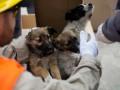 Из Чернобыля вывезут в США около 200 собак
