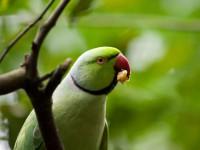 В Индии фермеров разоряют налеты попугаев-наркоманов