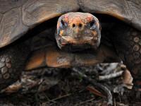 В Бразилии черепаха просидела 30 лет запертой в коробке и выжила