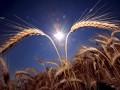 В Украине завершается сбор ранних зерновых