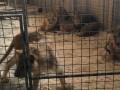 В Кривом Роге в цирке умер лев