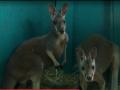 В зоопарке Бердянска появилась пара кенгурят
