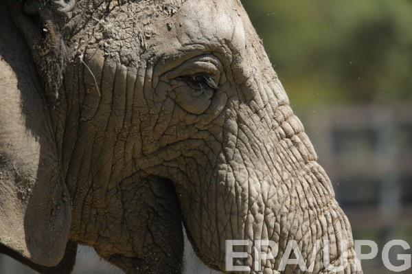 Слон сбежал недалеко от украинской границы