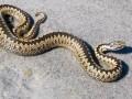 На Прикарпатье укус змеи отправил мужчину в реанимацию