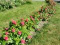 В Киеве мужчине дали 3 года тюрьмы за кражу кустов роз на 200 грн